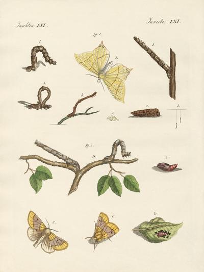 German Phalaena Moths--Giclee Print