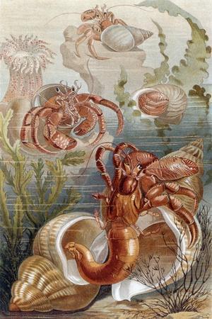 """Hermit Crabs, Plate from """"Brehms Tierleben: Allgemeine Kunde Des Tierreichs"""", Vol.10, P.38,…"""