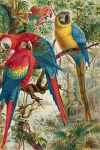 """Macaws, Plate from """"Brehms Tierleben: Allgemeine Kunde Des Tierreichs"""", Vol.5, P.60, Published by… by German School"""