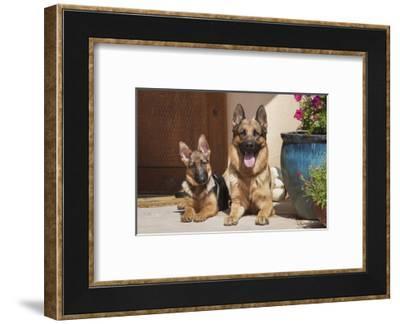 German Shepherd adult and puppy-Zandria Muench Beraldo-Framed Photographic Print