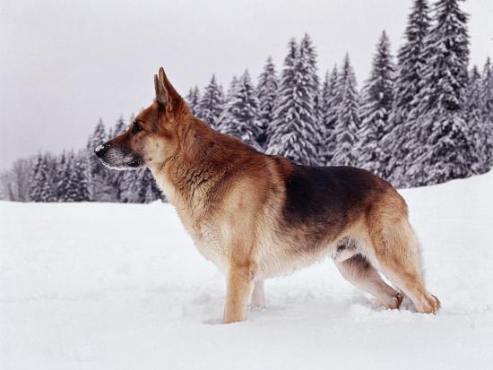 German Shepherd, Alsatian Dog Standing Deep Snow--Photographic Print