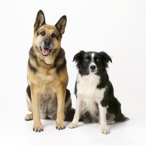 German Shepherd, Alsatian Dog with Border Collie