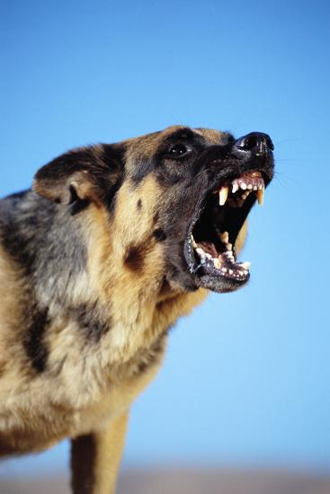 German Shepherd Barking-DLILLC-Photographic Print
