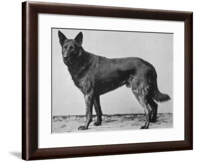 German Shepherd Beowulf--Framed Photographic Print