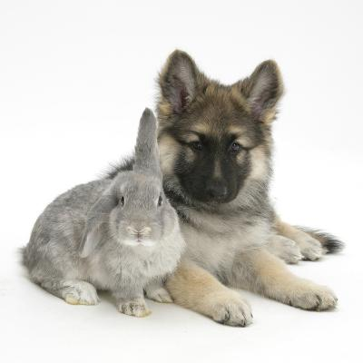 German Shepherd Dog (Alsatian) Bitch Puppy, Echo, with Grey Windmill-Eared Rabbit-Mark Taylor-Photographic Print