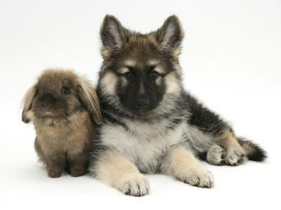 German Shepherd Dog (Alsatian) Bitch Puppy, Echo, with Lionhead Rabbit-Mark Taylor-Photographic Print