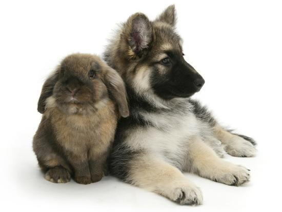 German Shepherd Dog Bitch Puppy, Echo, with Lionhead Rabbit-Mark Taylor-Photographic Print