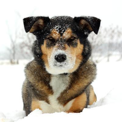 German Shepherd Dog Laying in Snow-Christin Lola-Photographic Print