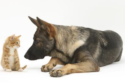 German Shepherd Dog Looking at a Ginger Kitten-Mark Taylor-Photographic Print