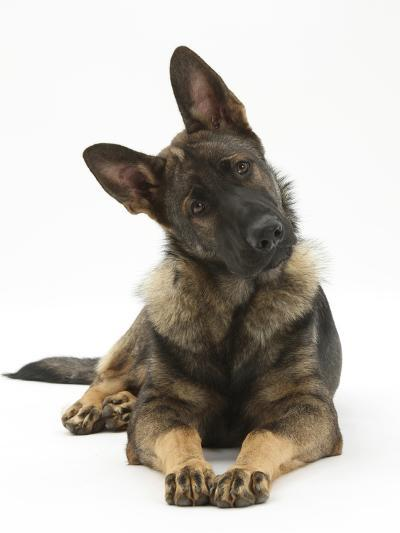 German Shepherd Dog Looking Inquisitively with Tilted Head-Mark Taylor-Photographic Print
