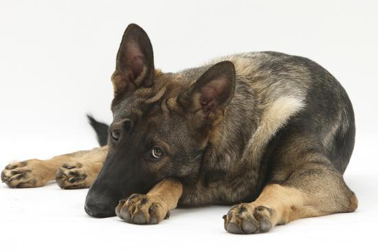 German Shepherd Dog Lying with His Chin on the Floor-Mark Taylor-Photographic Print