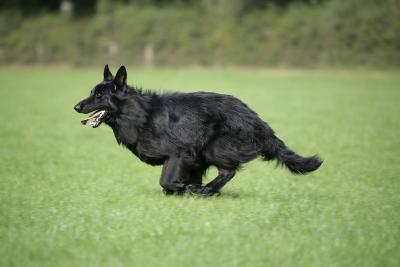German Shepherd Dog Running in Field--Photographic Print