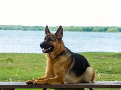 German shepherd dog sitting by river--Photographic Print