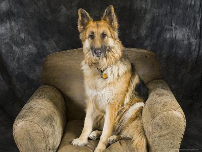 German Shepherd on Leather Chair in the Studio-David Edwards-Photographic Print