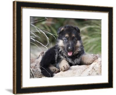 German Shepherd Puppy Lying on a Rock Amongst Tall Grasses-Zandria Muench Beraldo-Framed Photographic Print