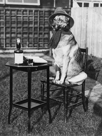 German Shepherd Smoking--Photographic Print