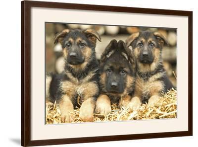 German Shepherd Three Puppies--Framed Photographic Print