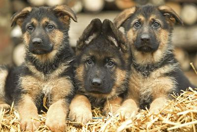German Shepherd Three Puppies--Photographic Print