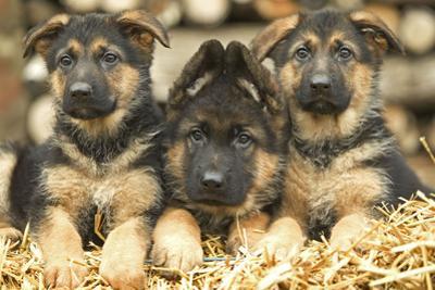 German Shepherd Three Puppies