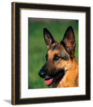 German Shepherd-Francie Manning-Framed Photographic Print