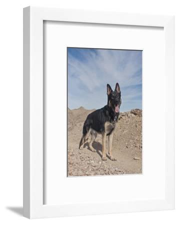 German Shepherd-Zandria Muench Beraldo-Framed Photographic Print
