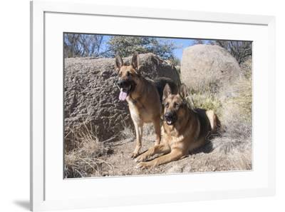 German Shepherds at desert park-Zandria Muench Beraldo-Framed Premium Photographic Print
