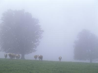 Germany, Baden-WŸrttemberg, Black Forest, Schauinsland, Cows in Fog-Andreas Keil-Photographic Print