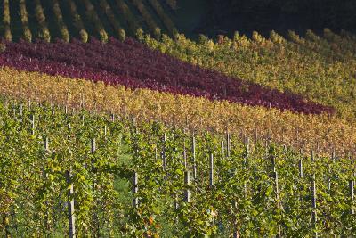 Germany, Baden-Wurttemburg, Black Forest, Gengenbach, Hillside Vineyards, Fall-Walter Bibikow-Photographic Print