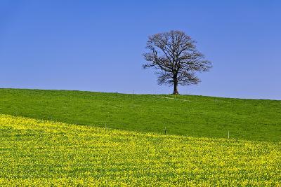 Germany, Bavaria, Upper Bavaria, Degerndorf (Village), Spring Meadow, Oak-Udo Siebig-Photographic Print