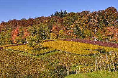 Germany, Hesse, Odenwald (Region), Bergstrasse (Region), Heppenheim (Town), Vineyards, Autumn Mood-Udo Siebig-Photographic Print