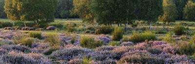 Germany, North Rhine-Westphalia, Wahner Heide, Heath Blossom in the Evening Light, Broom Heather-Andreas Keil-Photographic Print