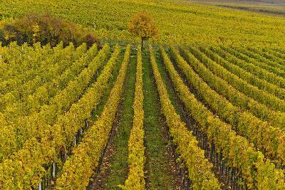 Germany, Rhineland-Palatinate, Palatinate, German Wine Road, Vineyards, Autumn, Tree, Colorful-Udo Siebig-Photographic Print