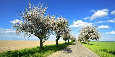 Germany, Saxony-Anhalt, Near Naumburg, Blossoming Cherry Trees at Country Road-Andreas Vitting-Photographic Print