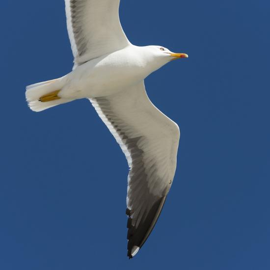 Germany, the North Sea, herring gull (Larus argentatus) in the flight.-Roland T. Frank-Photographic Print