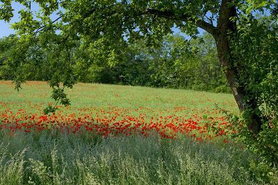 Germany, Weser Hills, Lower Saxony, Polle, Corn Poppy Field, Tree-Chris Seba-Photographic Print