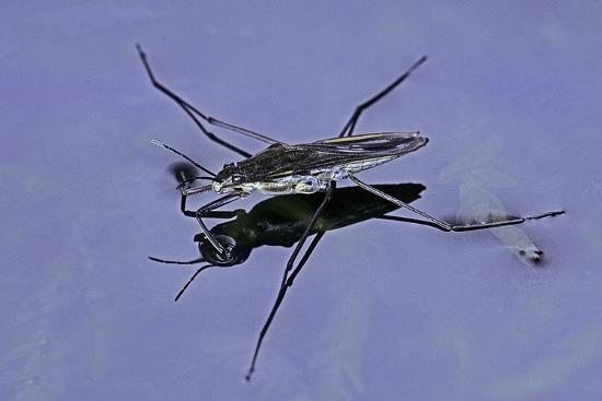 Gerris Lacustris (Common Pond Skater)-Paul Starosta-Photographic Print