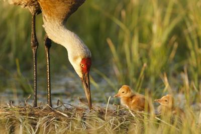 Sandhill Crane (Grus Canadensis) with Two Newly Hatched Chicks on a Nest in a Flooded Pasture