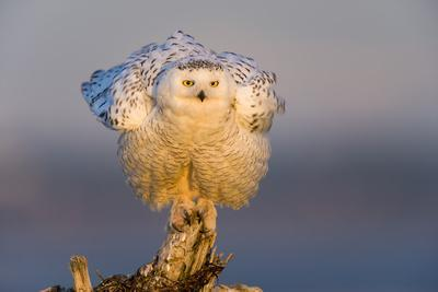 Snowy Owl (Bubo Scandiacus) Fluffing Feathers