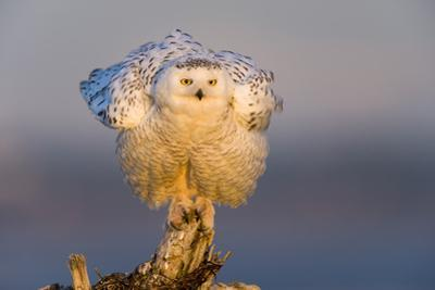 Snowy Owl (Bubo Scandiacus) Fluffing Feathers by Gerrit Vyn