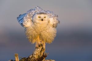 Snowy Owl (Bubo Scandiacus) Fluffing Feathers by Gerrit Vyn