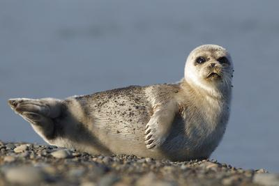 Spotted Seal (Phoca Largha) Pup Resting on a the Gravel Beach of the Bering Sea
