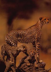 African Cheetah by Gerry Ellis