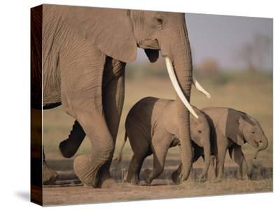 African Elephant (Loxodonta Africana) and Calves, Amboseli National Park, Kenya