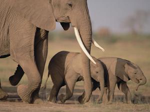 African Elephant (Loxodonta Africana) and Calves, Amboseli National Park, Kenya by Gerry Ellis