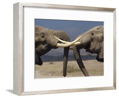 African Elephant (Loxodonta Africana) Bulls Engaged in Greeting Ritual, Amboseli, Kenya
