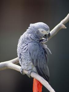 African Grey Parrot (Psittacus Erithacus) Preening, East Africa by Gerry Ellis