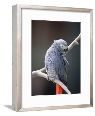 African Grey Parrot (Psittacus Erithacus) Preening, East Africa