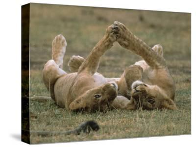 African Lion (Panthera Leo) Two Cubs Playing, Serengeti National Park, Tanzania