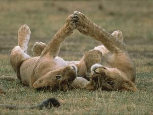 African Lion (Panthera Leo) Two Cubs Playing, Serengeti National Park, Tanzania by Gerry Ellis