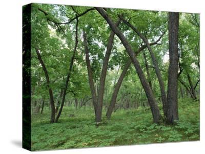 American Elm (Ulmus Americana) Old Growth Forest in Sully Hill, South Dakota